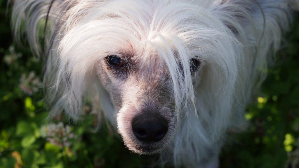 testa Chinese crested dog