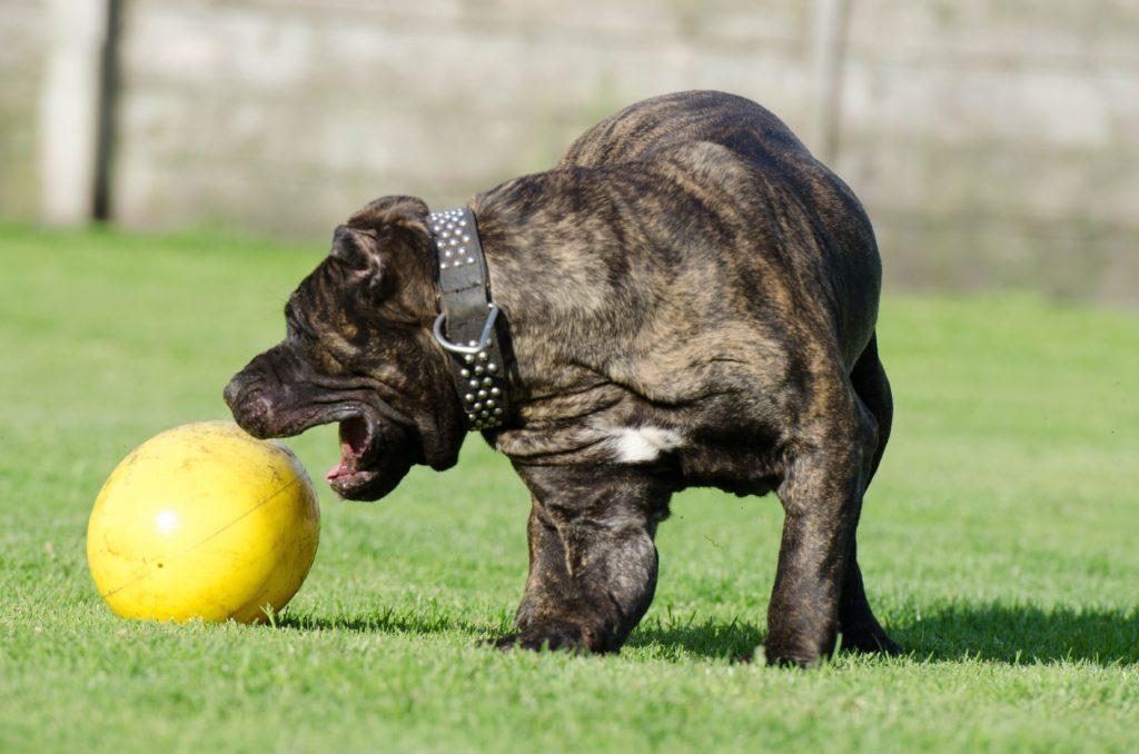 Dogo canario con plla
