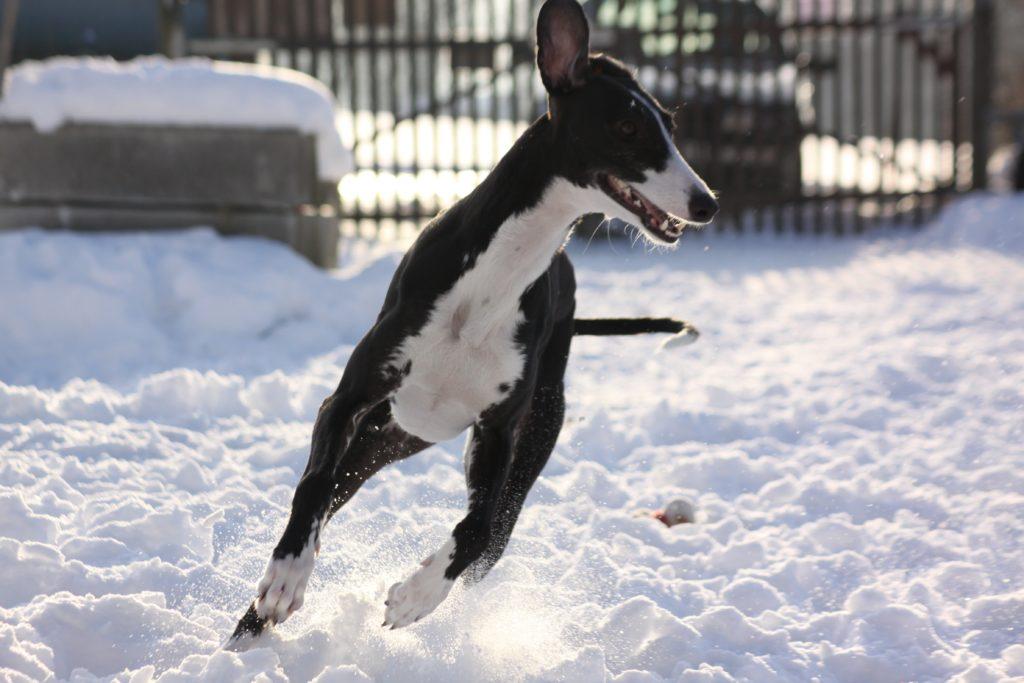 Galgo espanol sulla neve