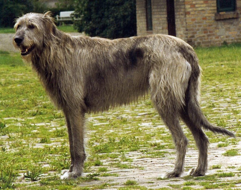 Irish wolfhound  maschio