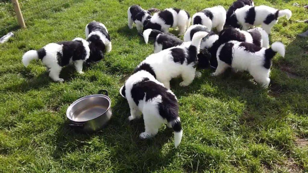 cuccioli di Landseer