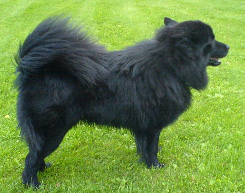 Papphund