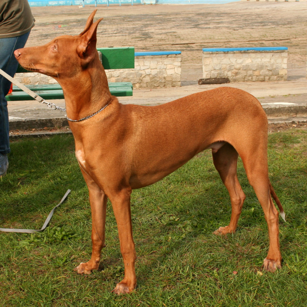 Pharaon hound - cane dei faraoni