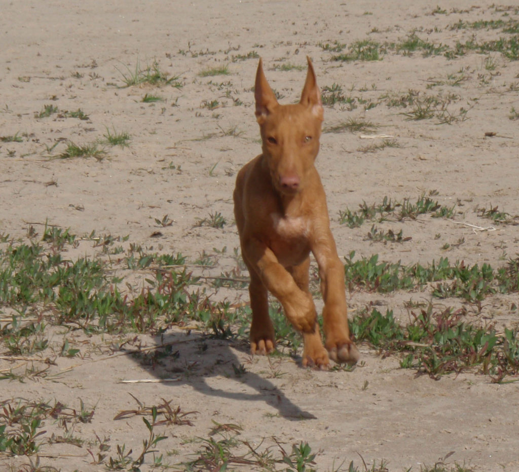 Pharaon hound - cane dei faraoni cucciolo