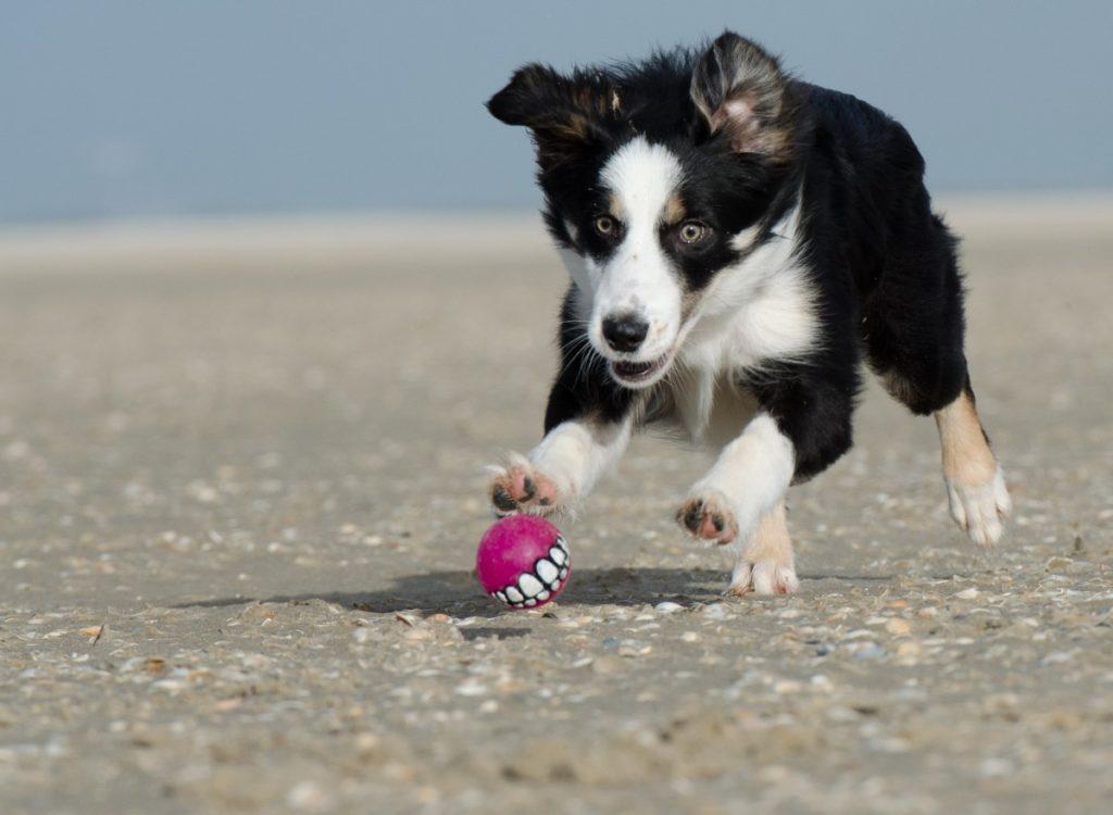 Australian shepherd che gioca sulla spiaggia
