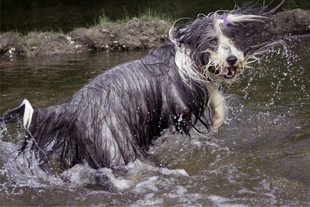 bearded collie in acqua