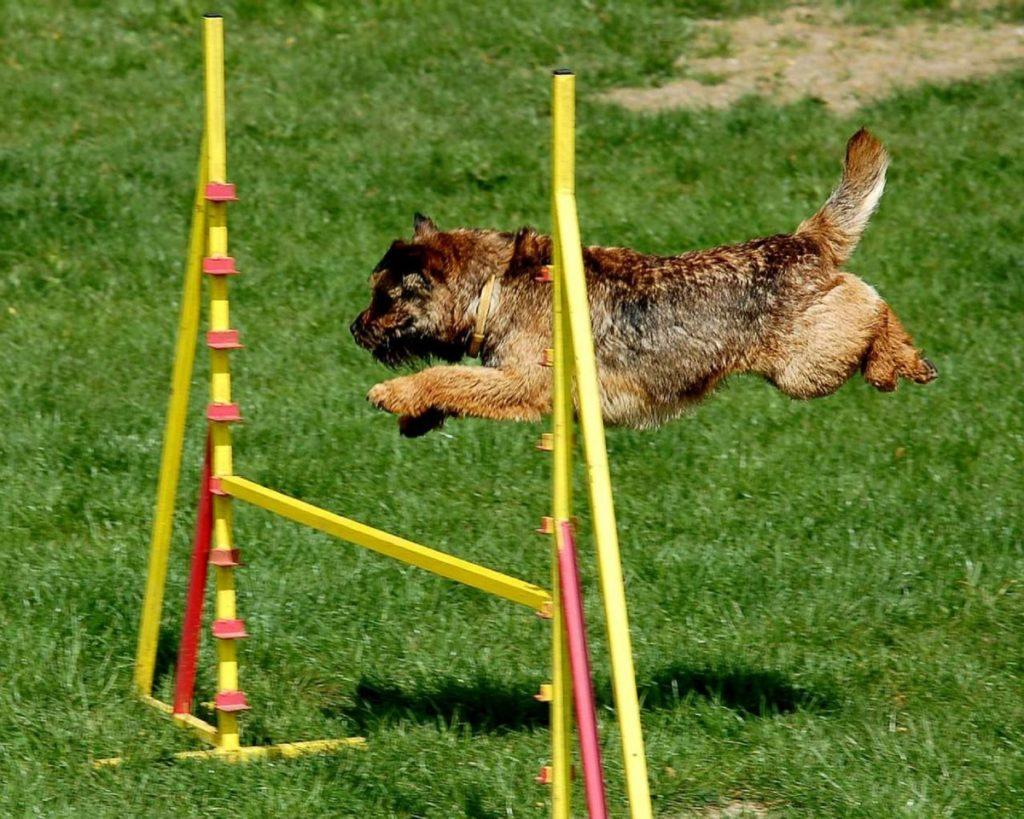 il border terrier e l'agility