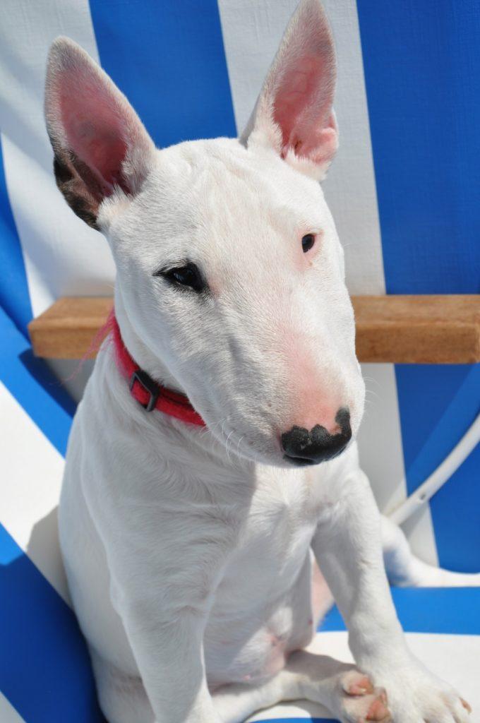 cucciolone bull terrier