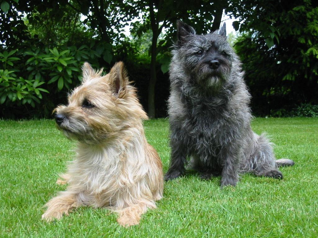 coppia Cairn terrier