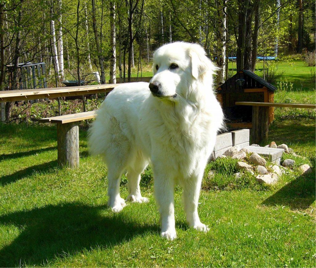 Cane da montagna dei Pirenei