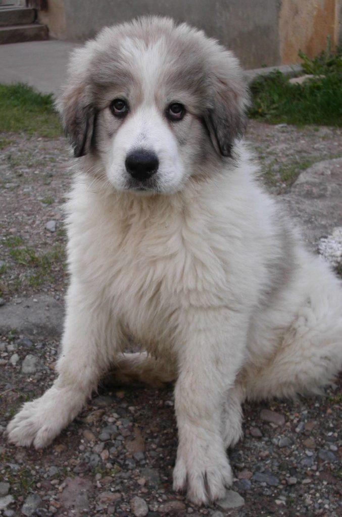 cucciolo di cane da montagna dei Pirenei.