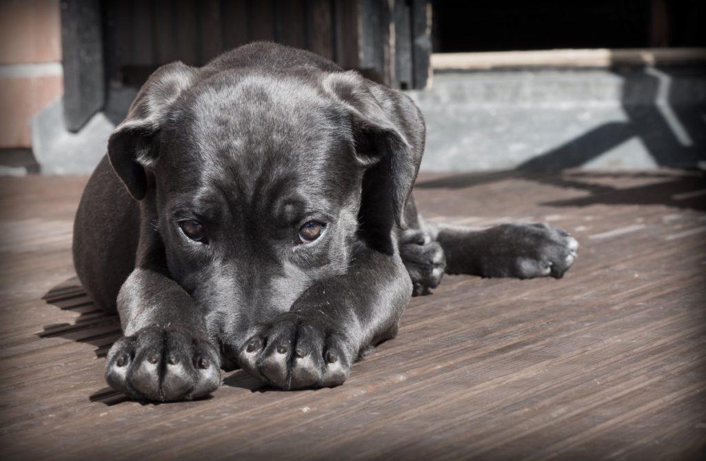 cane corso colpevole