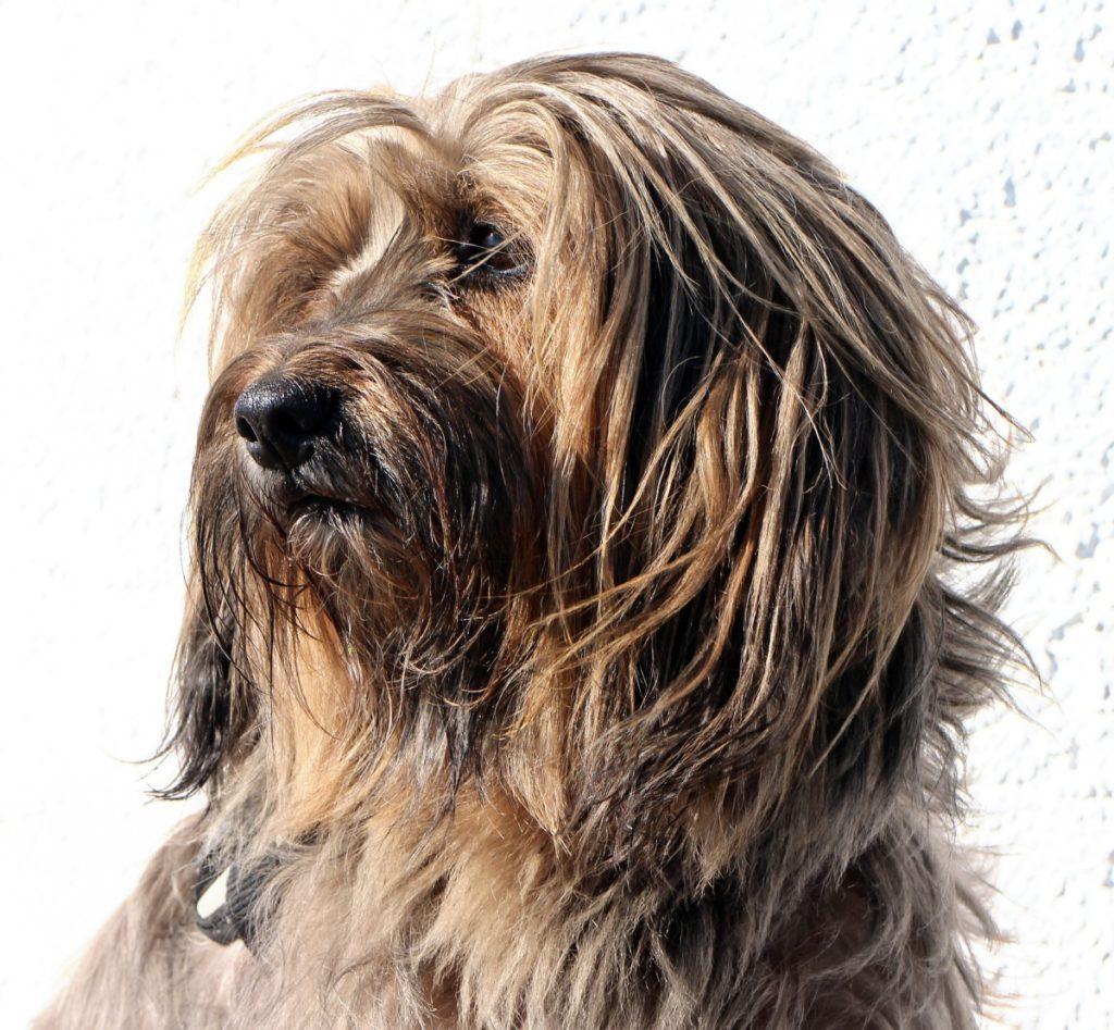 Gos d'Atura o Perro pastor catalàn