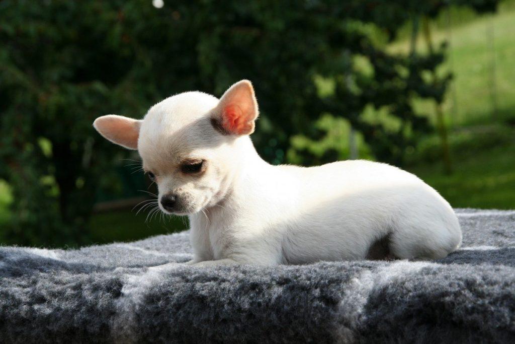 Chihuahua bianco