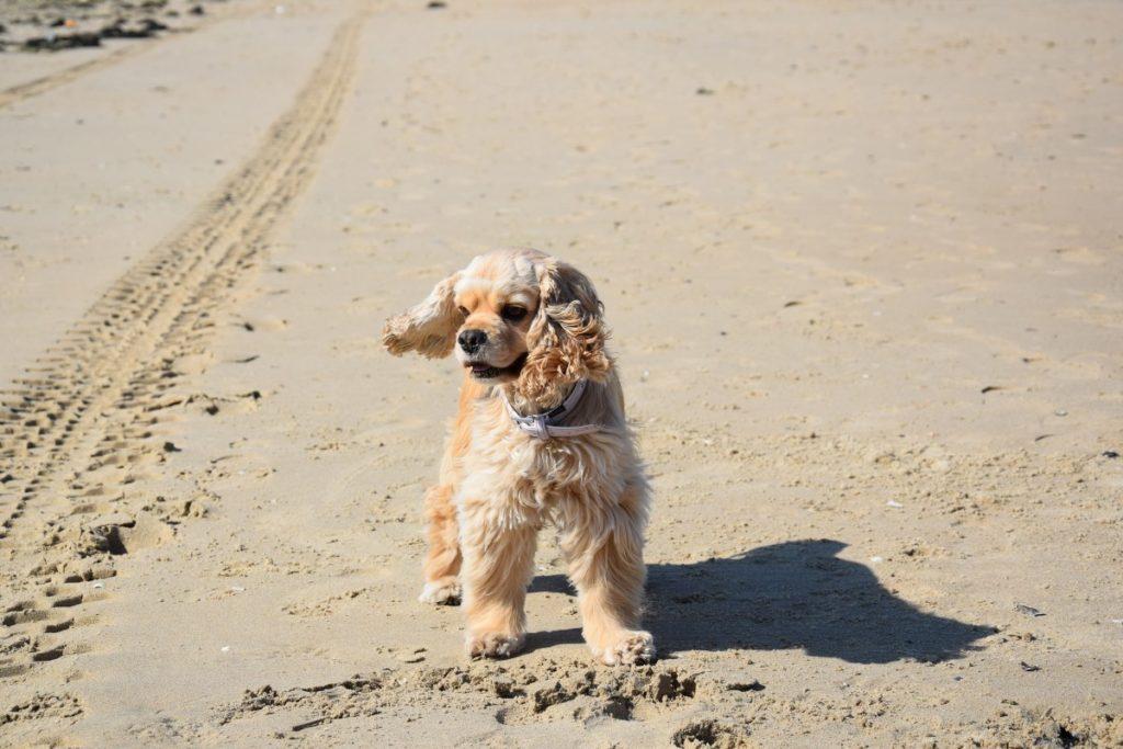 Cocker americano in spiaggia