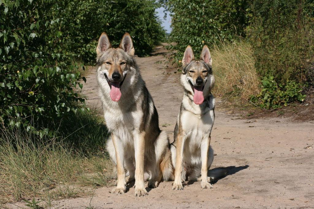 coppia Cane lupo cecoslovacco