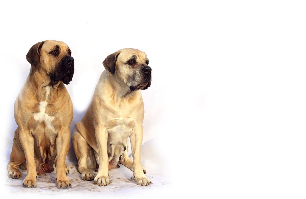 coppia Mastiff