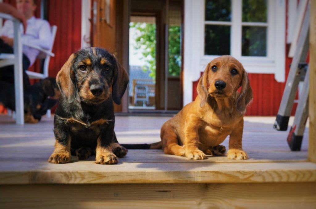coppia cuccioli bassotti