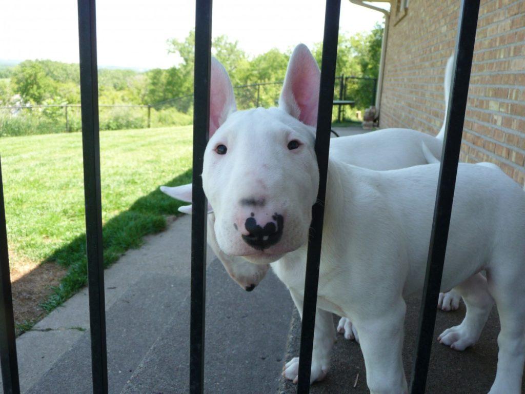 cucciolo bull terrier