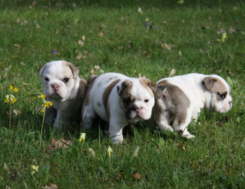 cuccioli bulldog