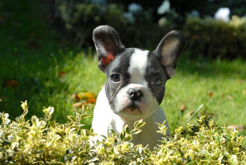 cucciolo di Bouledogue Francese