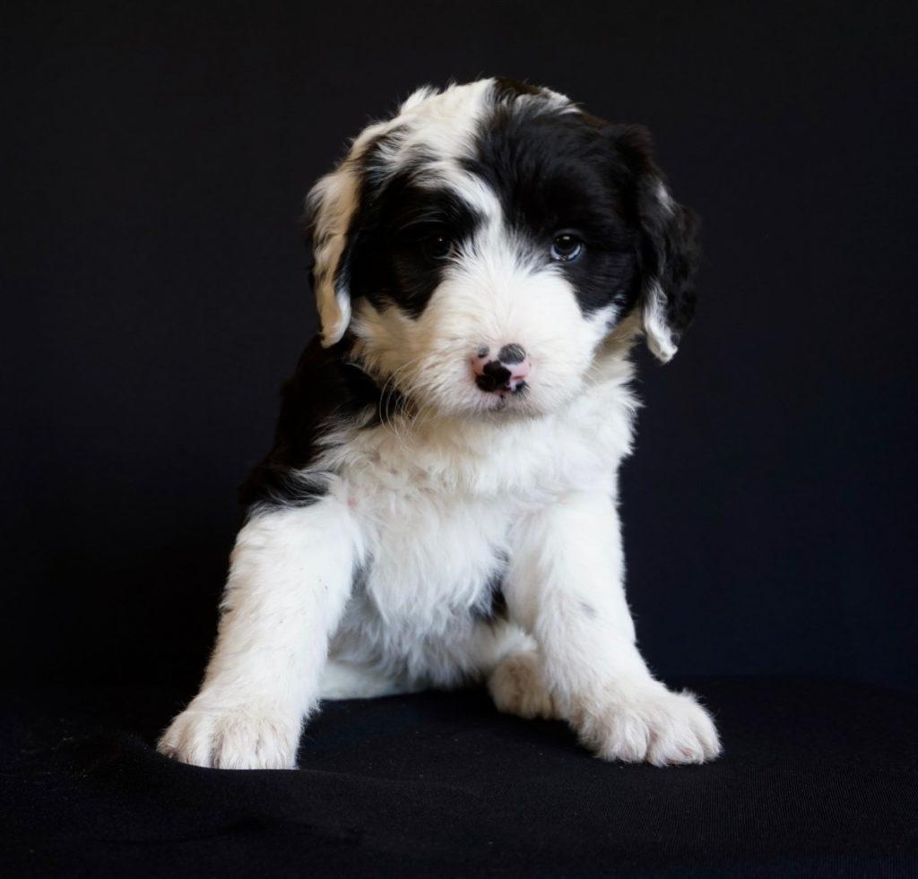 cucciolo di bearded collie