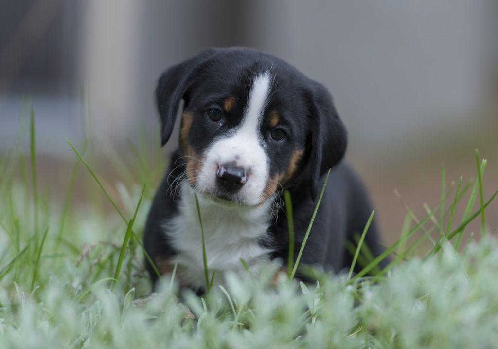 Bovaro dell'appenzell cucciolo