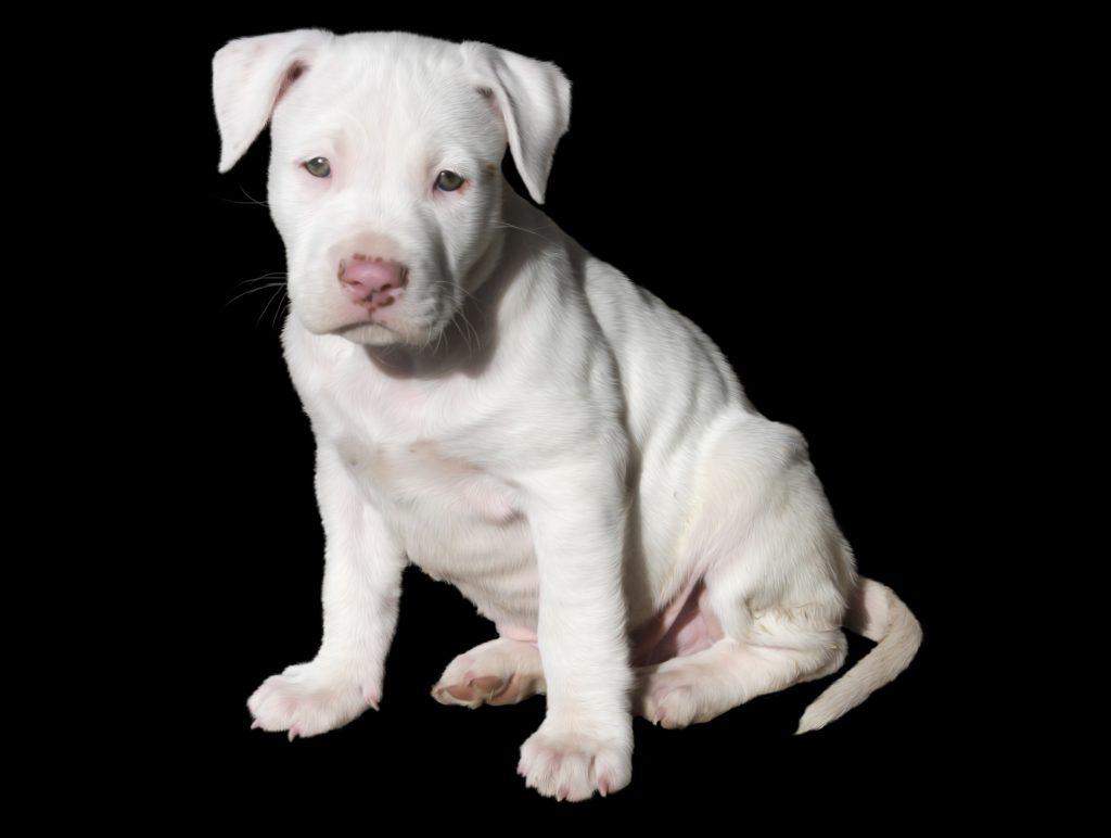 cucciolo dogo  argentino naso rosa