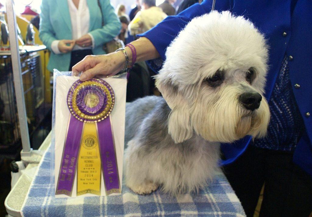 campione Dandie Dinmont Terrier
