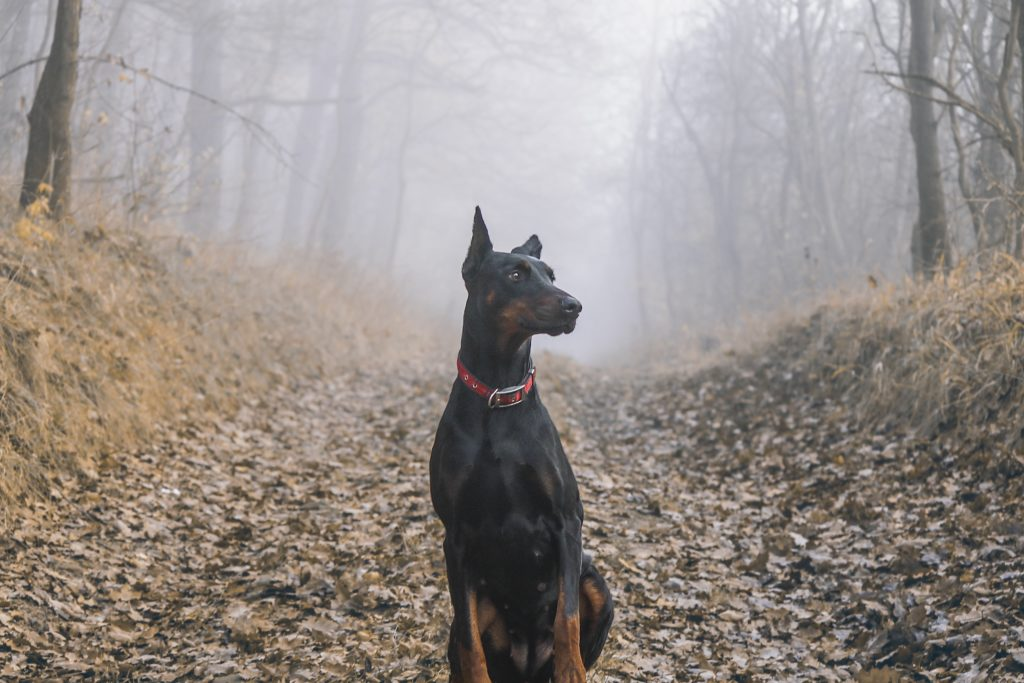 Dobermann nella nebbia