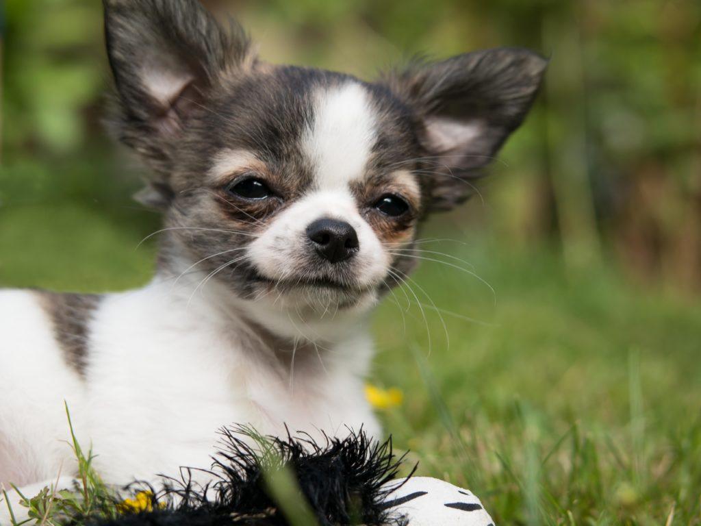 cucciolo Épagneul nano continentale
