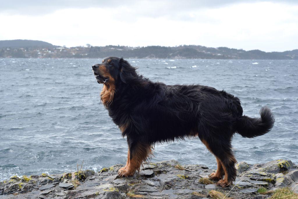 Hovawart al mare
