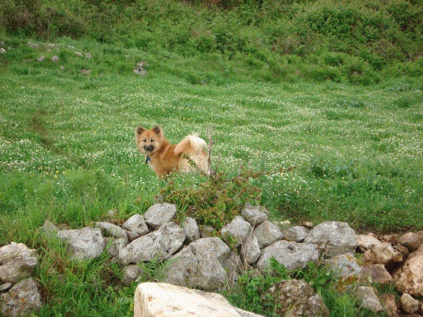 ICELAND DOG   (Cane d'islanda)