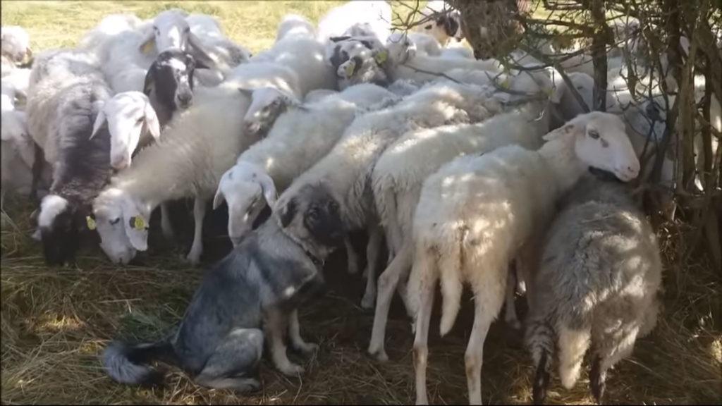 pastore di Karst