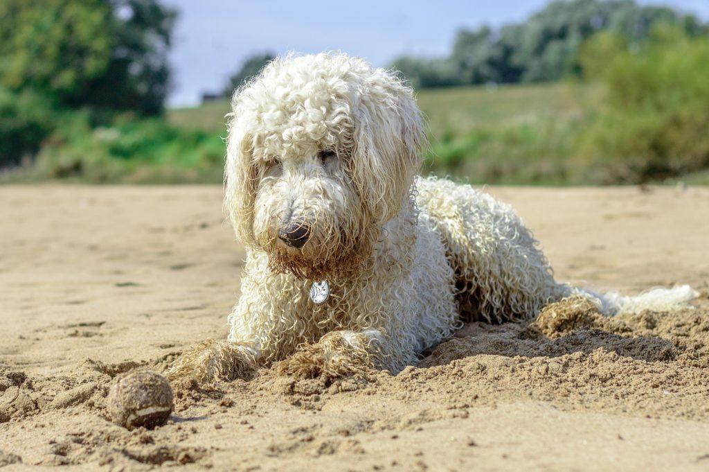 Lagotto romagnolo in spiaggia
