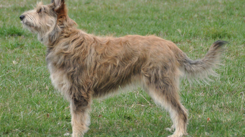 Il Cane da pastore di Piccardia