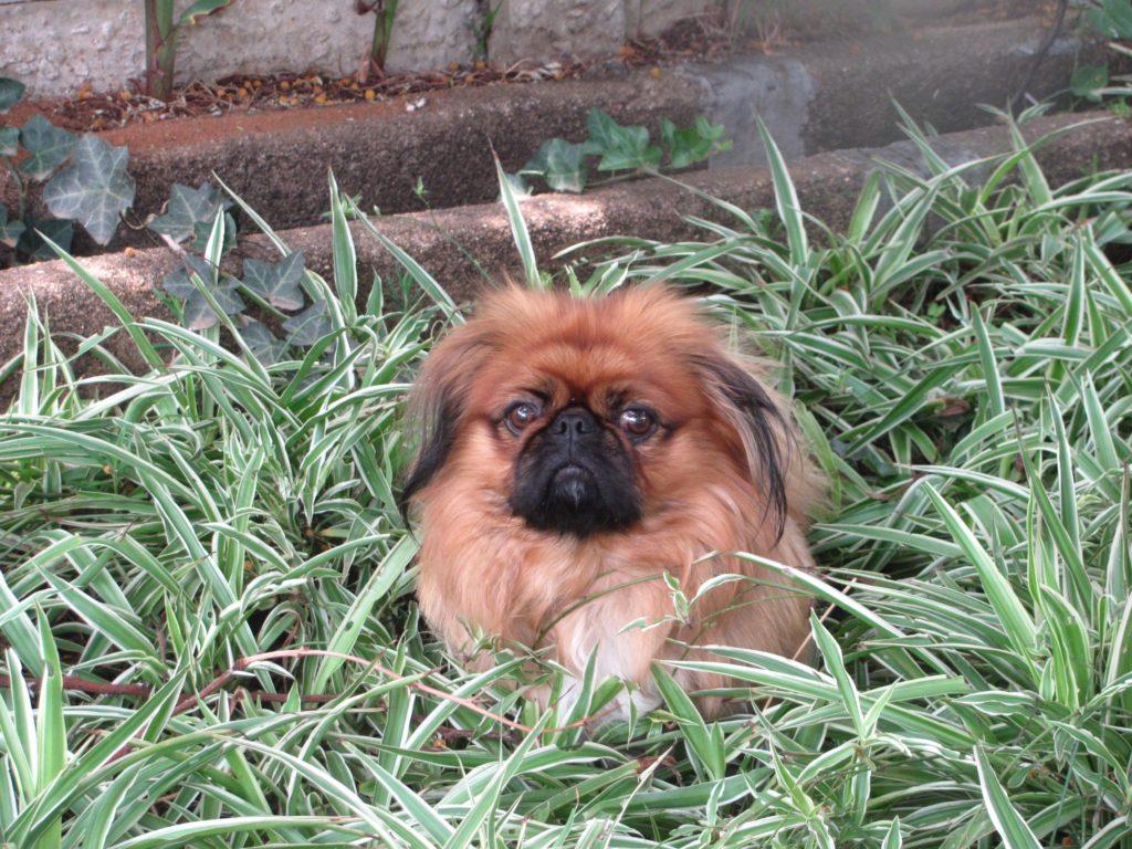 pechinese nell'erba