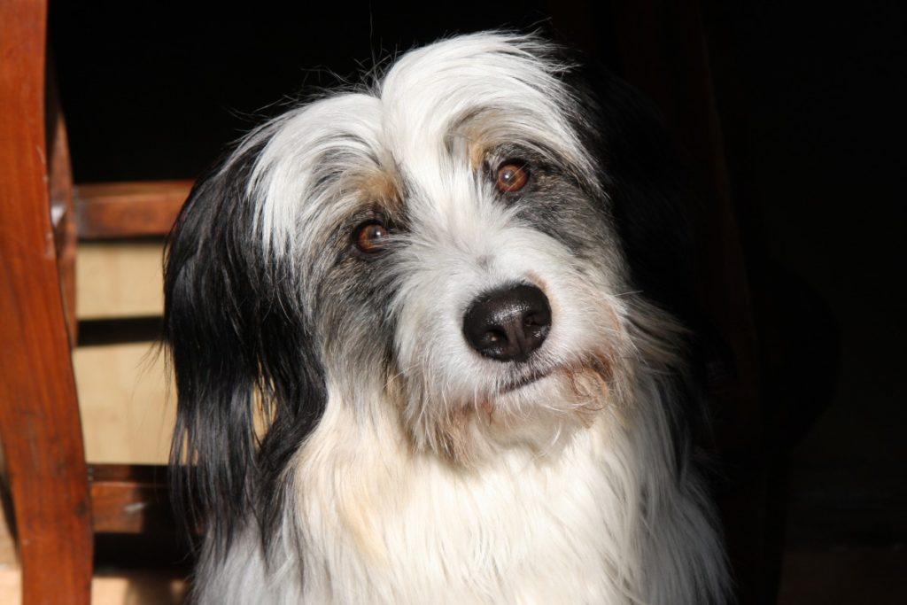 testa bearded collie