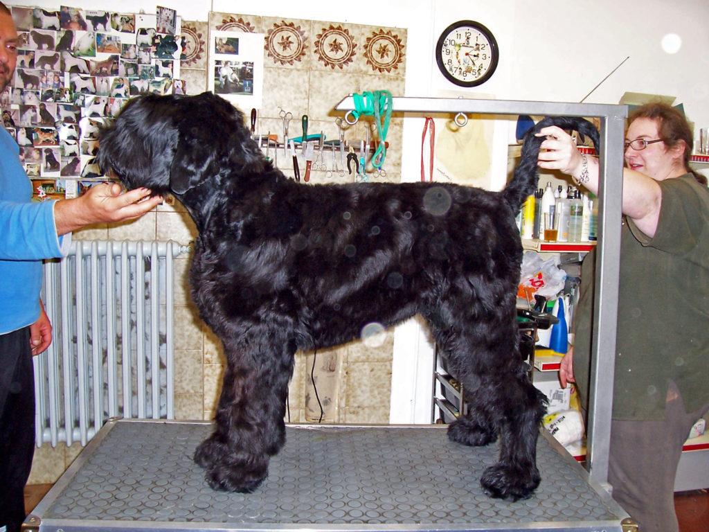 campione Terrier nero russo