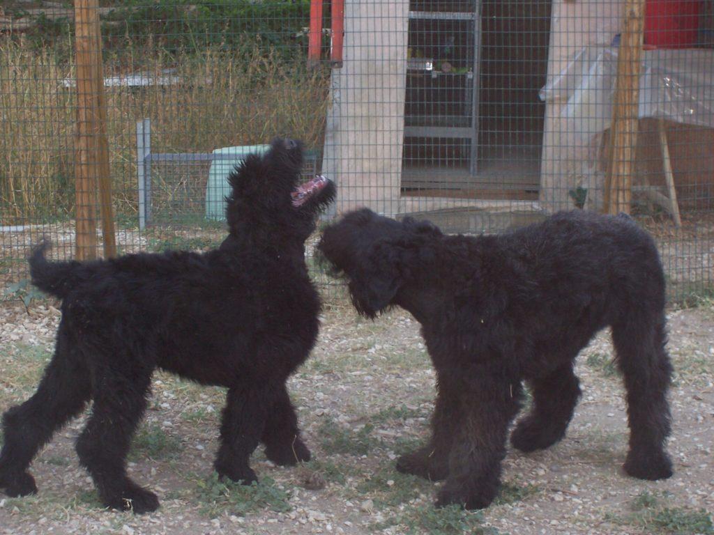 cuccioloni Terrier nero russo