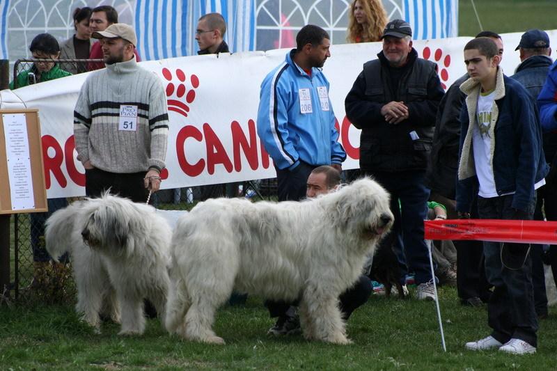 Pastore Rumeno - Romanian mioritic sheperd dog
