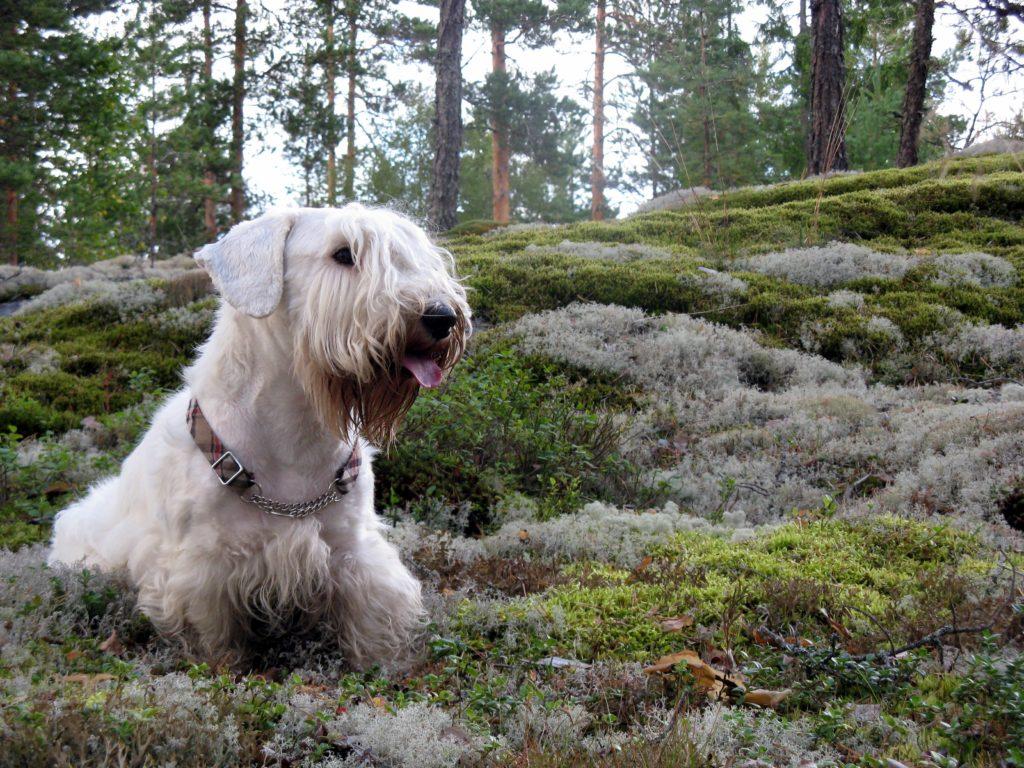 Sealyham Terrier nel bosco