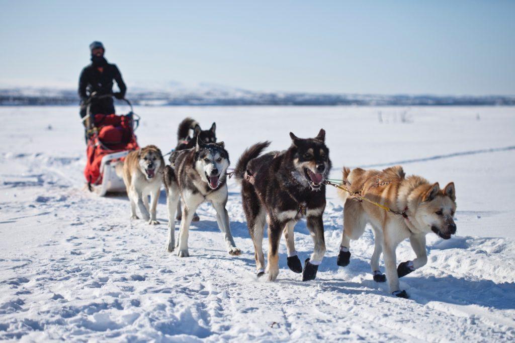 allenamento Siberian husky