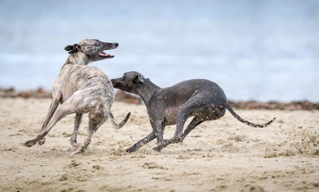 Sloughi che giocano sulla sabbia