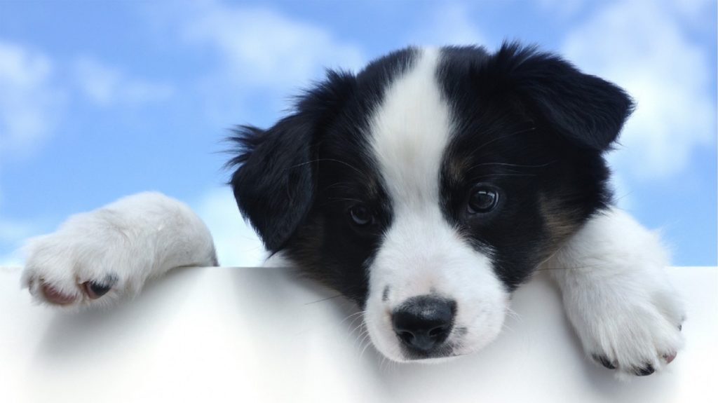 cucciolo Stabyhoun