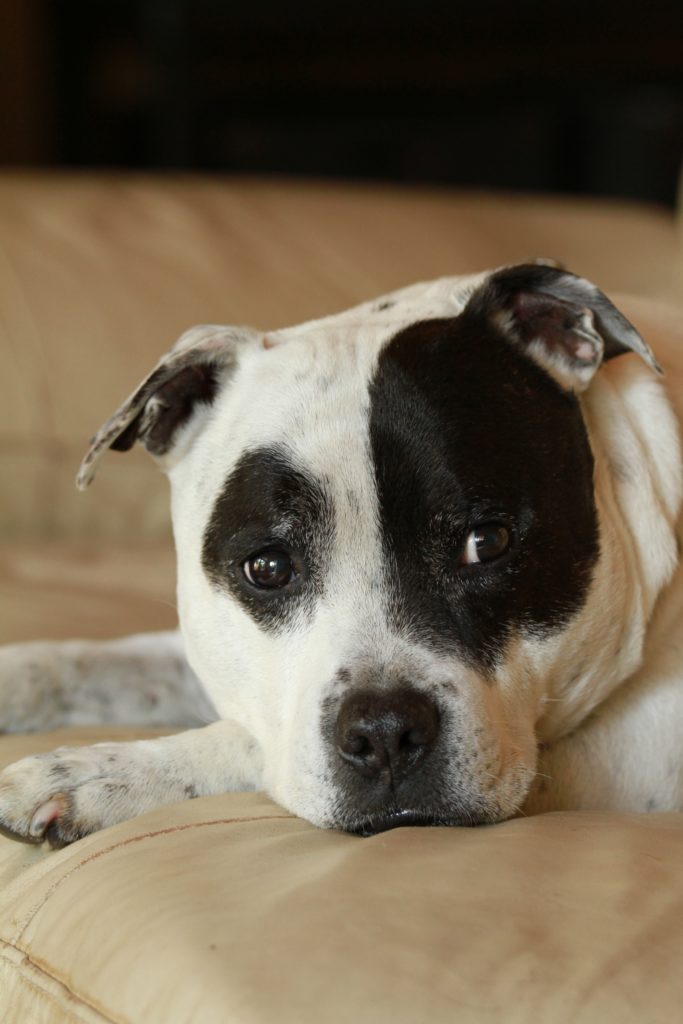 testa bianca e nera  staffordshire Bull Terrier