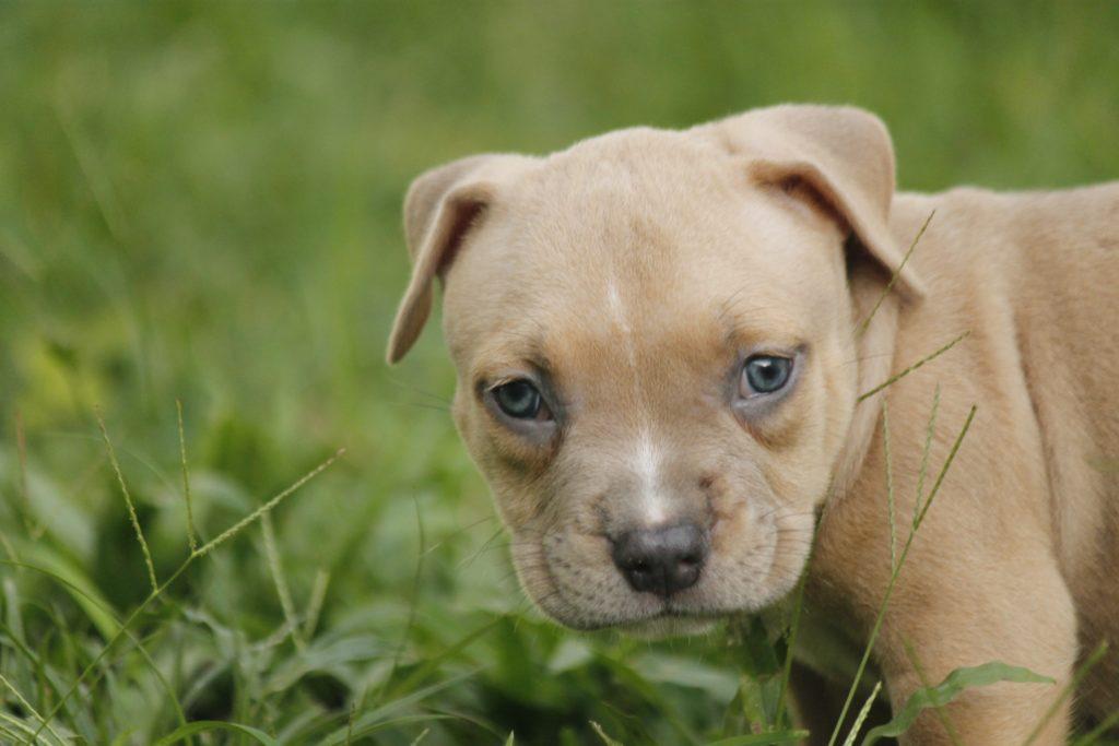 cucciolo di staffordshire Bull Terrier