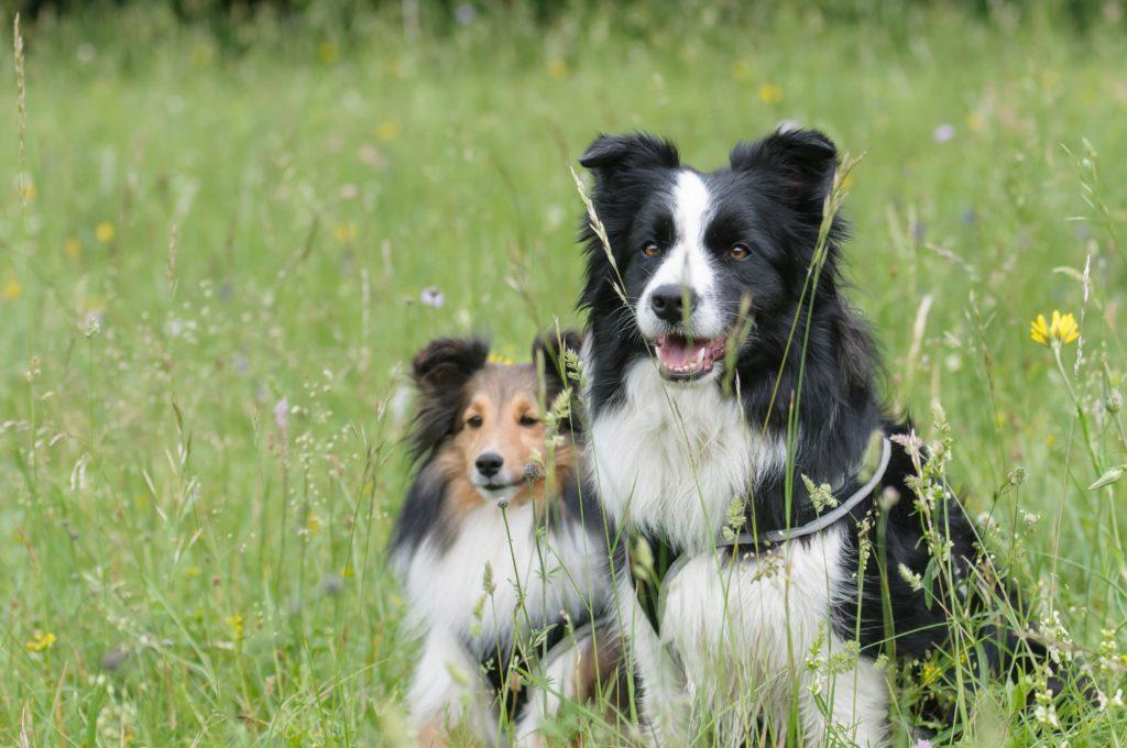confronto tra un Shetland e un border collie