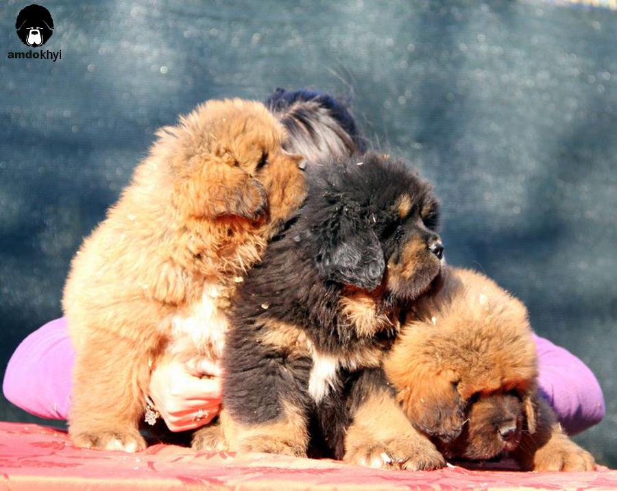 cuccioli di Mastino Tibetano