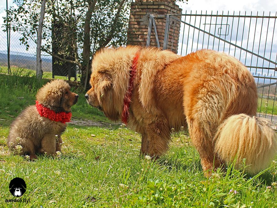 padre e cucciolo di Tibetan mastiff